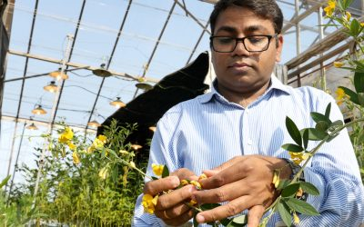 Major step forward in chickpea and pigeonpea research – reference genome data assembled