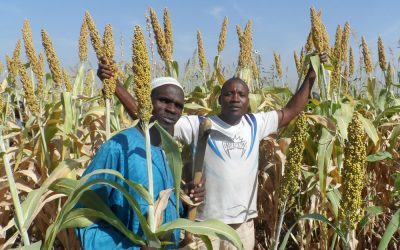 3 sorghum varieties released in Nigeria