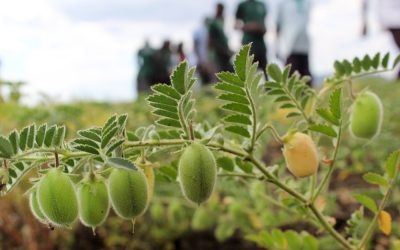 Fast-tracking of new chickpea varieties for Malawi's growing export market