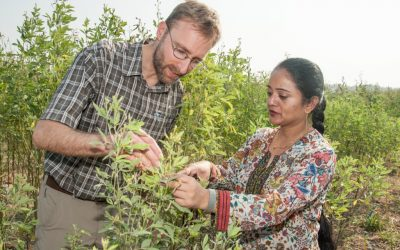 Wilder and stronger: India-Myanmar pigeonpea program gets new research boost