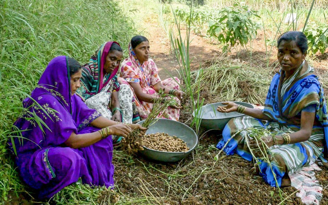 New high-oil variant draws farmers to groundnut production in western India