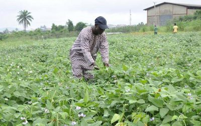 The genetic improvement of cowpea: Develop high-yielding varieties