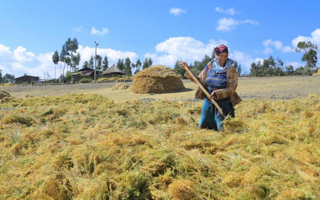 Lentil farming and gender norms in Ethiopia