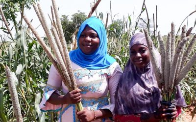 Seed companies in West Africa eye pearl millet hybrid with 70% higher yield potential