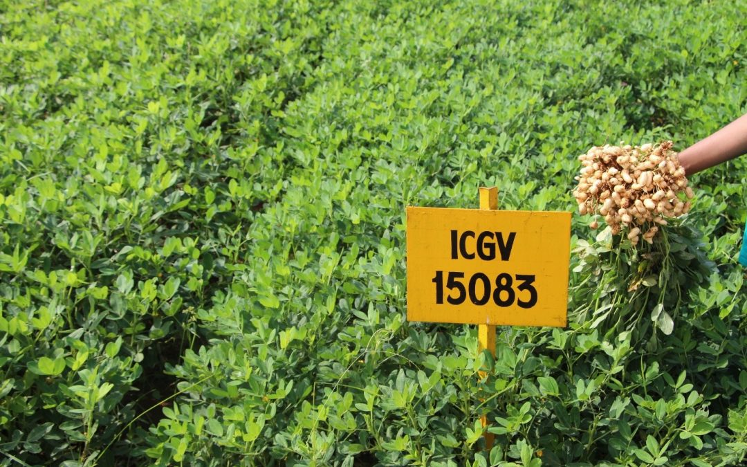 India set to release its first 'high oleic' groundnut variety
