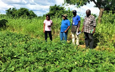 12 years of Tropical Legumes: 25 million smallholder farmers now grow improved varieties