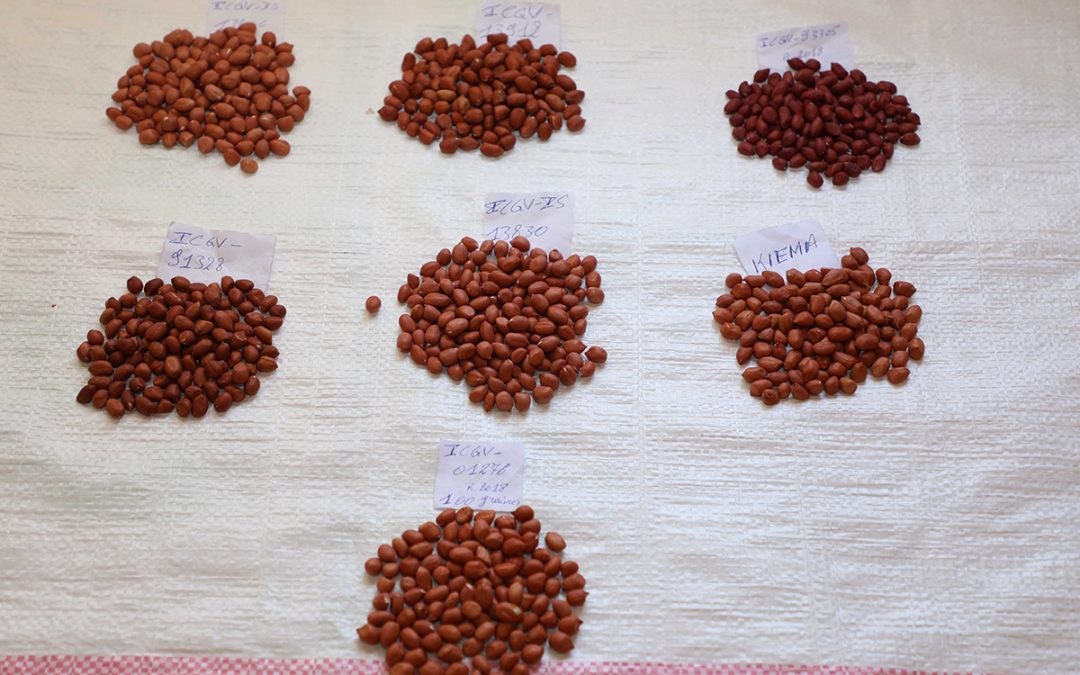 Groundnut breeding program in Burkina Faso gets a boost with seven new improved groundnut varieties