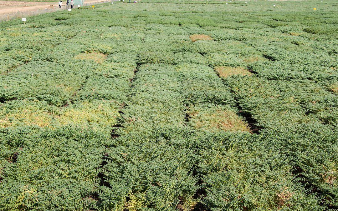 Indo-Australia genomics project for chickpea drought tolerance gains momentum