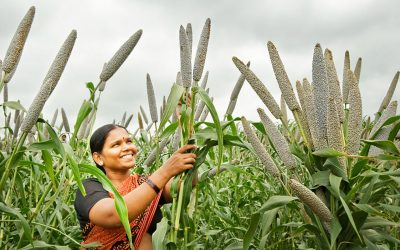 Spotlight on pearl millet – biofortification and drought tolerance