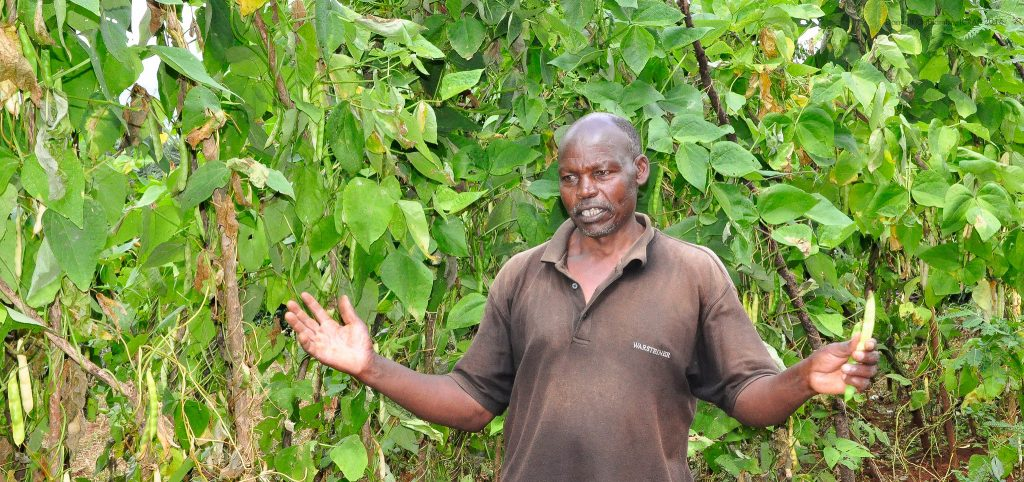 A farmer shows his climbing beans. Apart from their abundant yield, they fetch better prices in the local markets. Photo: World Agroforestry/Danyell Odhiambo