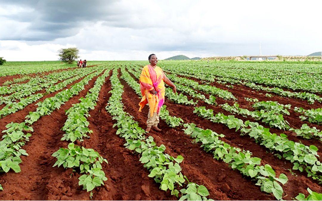 Farmers in Eastern Kenya reap big profits from improved varieties of drought-tolerant crops