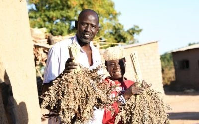 Better seeds and best practices enhance incomes for  smallholder farmers in Mali