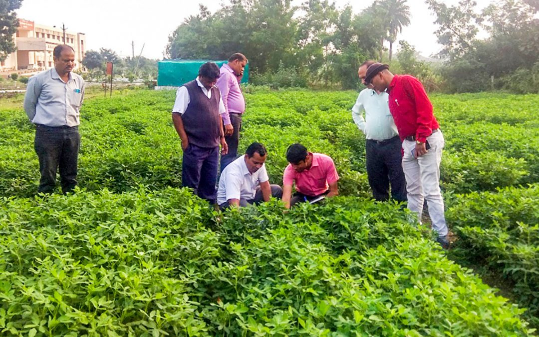 New groundnut variety with high oil, high pod yields released in Central India