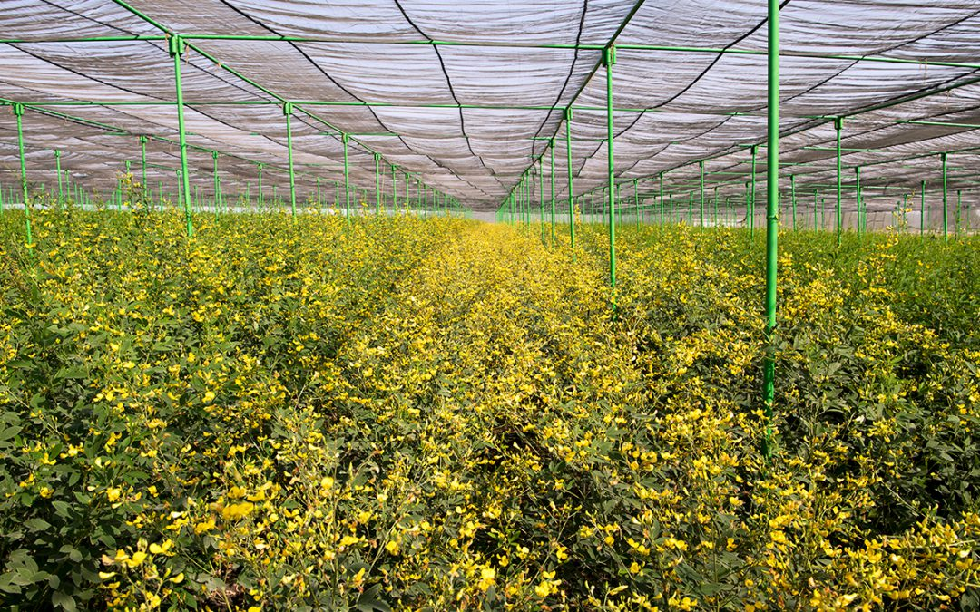 Secret to on-off fertility discovered in pigeonpea