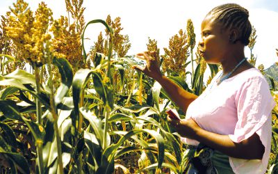 New highly productive sorghum varieties released