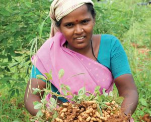 The groundnut ICGV 91114 developed by ICRISAT in India is a fast-growing higher yielding cultivar for both food and fodder. Photo L.V. Sagar/ICRISAT