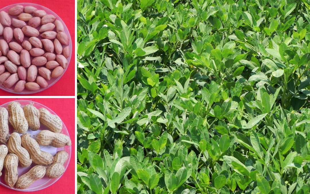 Bigger, bolder, high-yielding confectionery groundnut variety released in Karnataka, India