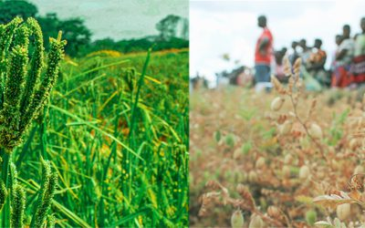 Malawi officially releases its first improved chickpea and finger millet varieties