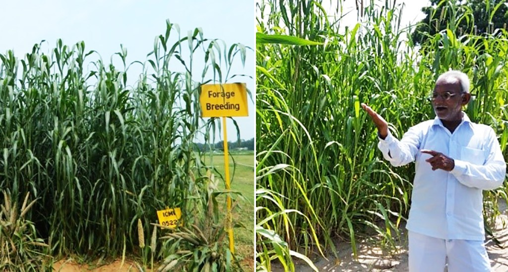 Rising fodder shortage prompts release of two pearl millet varieties with superior and higher forage in south India
