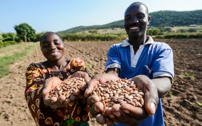 A new digital hub to consolidate learnings from global food legume initiatives