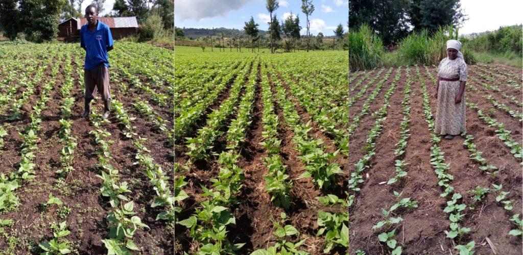 Bean field visited by extension officers in Nakuru, Kenya. Photo: CIAT