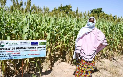 Farmers in Mali endorse climate-resilient and high-yielding crop varieties