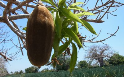 Orphan crops are the key to better diets in Africa: but how to promote them?