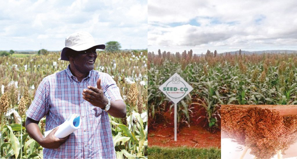 New sorghum hybrid with preferred market traits developed in partnership with Zimbabwean seed company