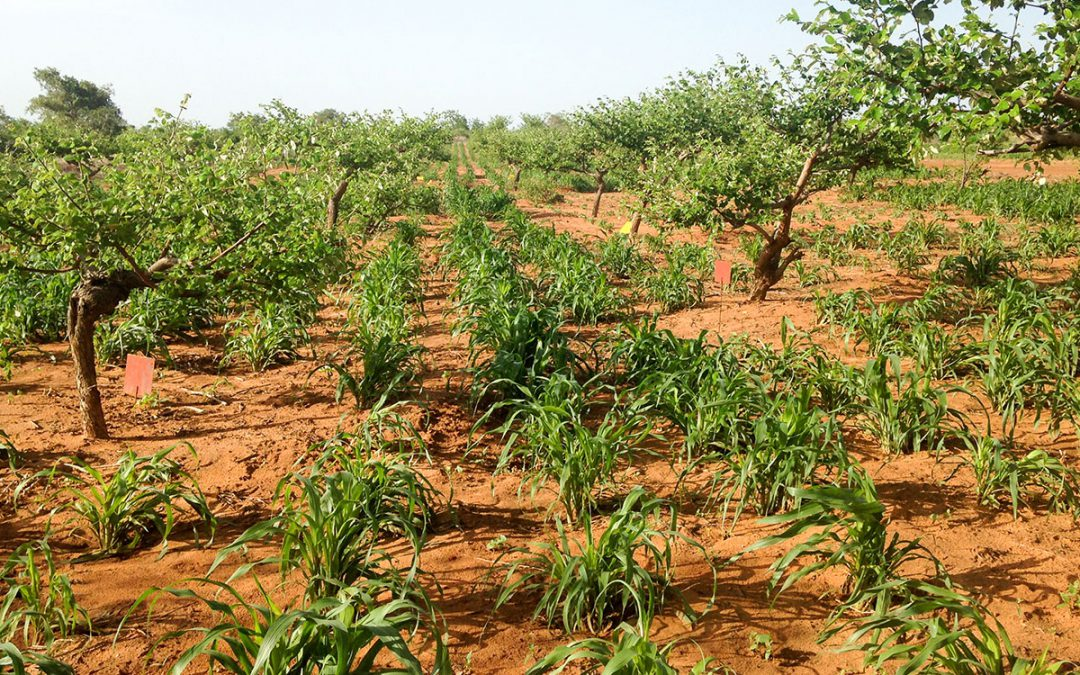 Ziziphus agroforestry: a yield and income ladder for millet farmers in Niger
