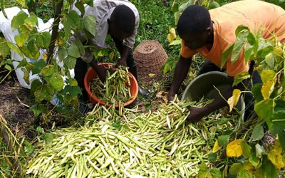 Graduate scaling great heights growing climbing bean in Uganda