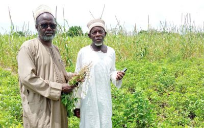 Revival of groundnut production continues to change lives of smallholder farmers in Northern Nigeria