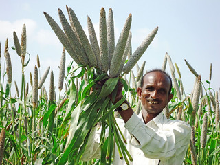 High-iron pearl millet for better health
