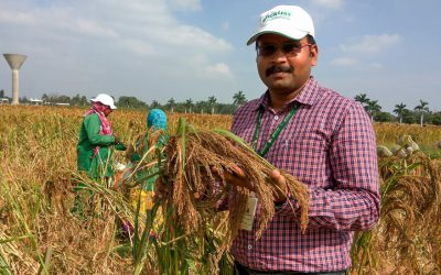 Little millet that are big on nutrition and yield identified at ICRISAT