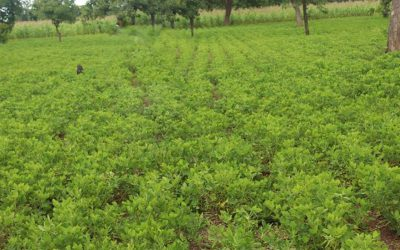 Ghana farmers' group raises groundnut yield five-fold with improved varieties, breaks three-decade productivity barrier