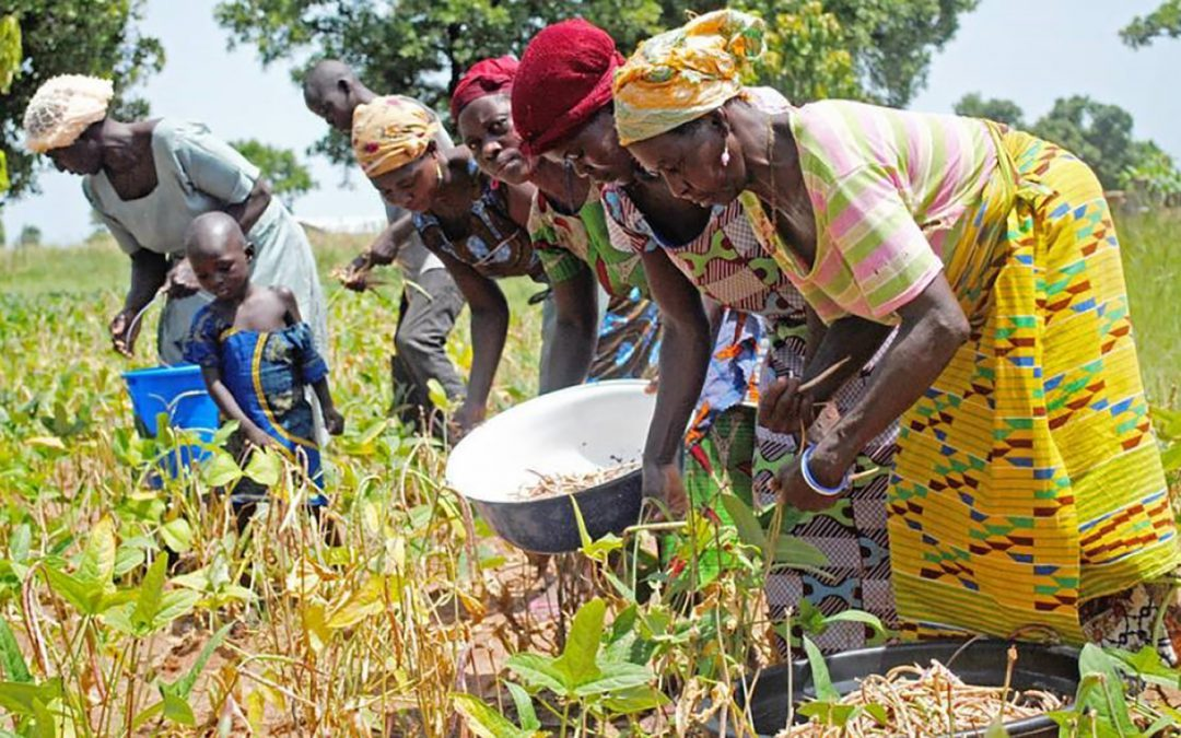 Cowpea variety IT89KD-288: A dry-season grain and fodder legume