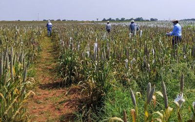 Public and private sector scientists pick pearl millet material for their breeding programs