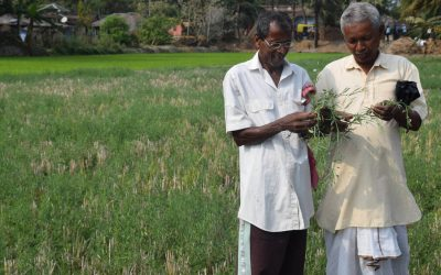 Quick-maturing legumes for fallow land in South Asia
