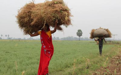 Extra early biofortified lentils for South Asia