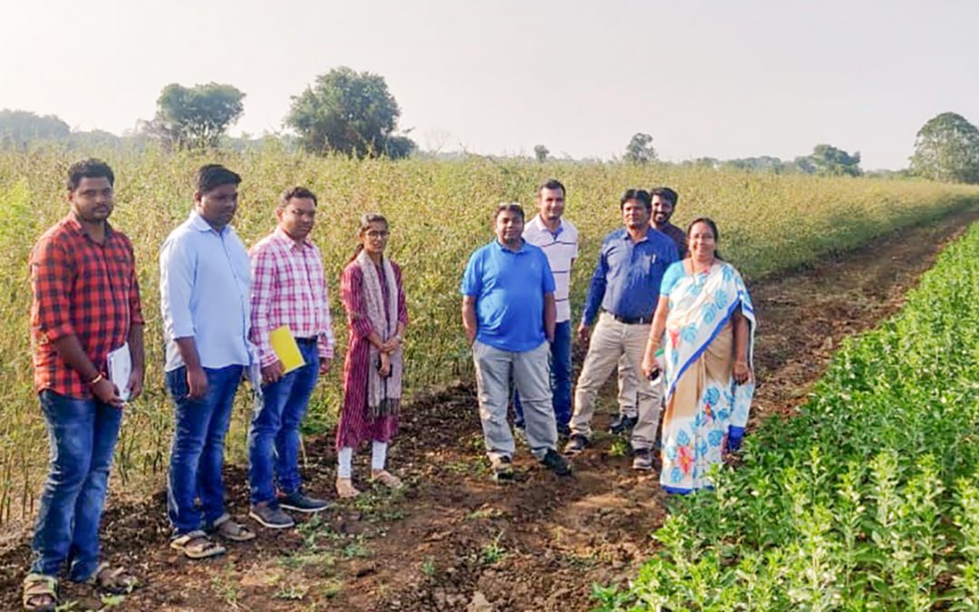 New high-yielding pigeonpea variety set for release in India, more to come