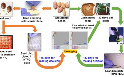 ICRISAT optimizes seed-chip genotyping in groundnut