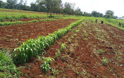 Improving farmers' livelihoods through upscaling best performing sorghum varieties for seed production and commercial products in western Kenya