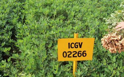 Groundnut variety tolerant to drought and foliar fungal disease with superior haulm quality released in Odisha, India