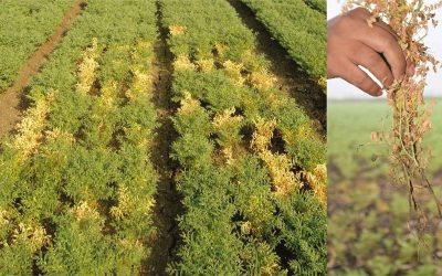 ICRISAT's plant health researchers mine genes to defend chickpea against a deadly pathogen