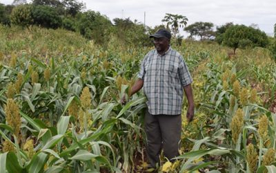New drought-tolerant varieties rekindle hopes of food security in drought-prone Makueni County